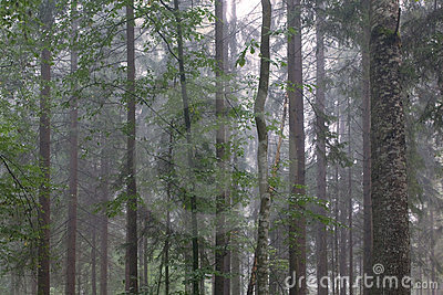 Tree trunks in misty stand
