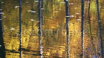 Tree trunks reflecting in water stock footage