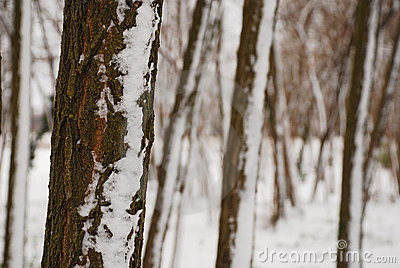 Tree Trunks in Snow
