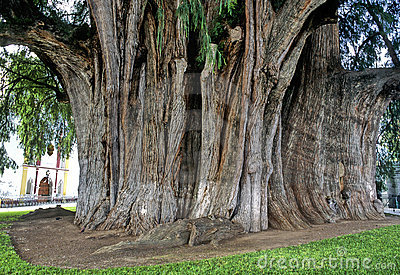 Tree of Tule