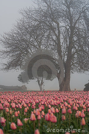 Tree and tulips