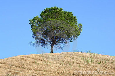 Tree on Tuscan hillside