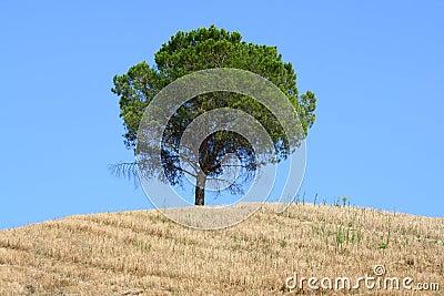 Tree on Tuscan hillside