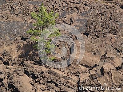 Tree on volcano