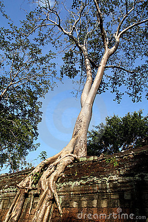 Tree on Wall at Preah Khan
