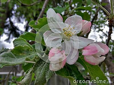 Tree white pink flower Stock Photo