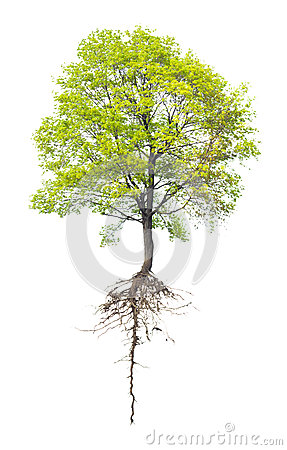 Free Tree With A Root Royalty Free Stock Photo - 26546045