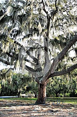 Free Tree With Spanish Moss Stock Photo - 3716760