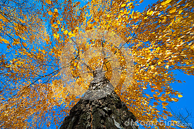 Tree with yellow autumn leaves