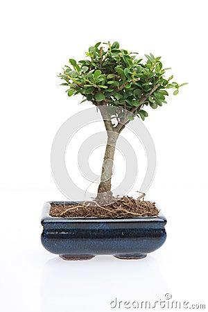 Tree of zen