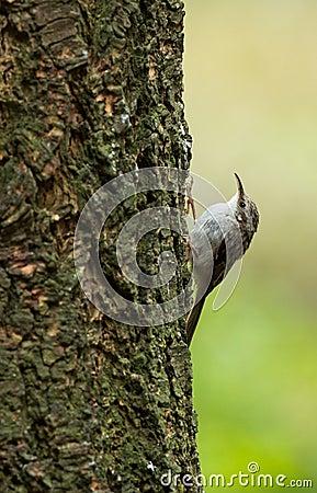 Treecreeper, Certhia familiaris