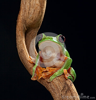 Treefrog Agalychnis spurrelli