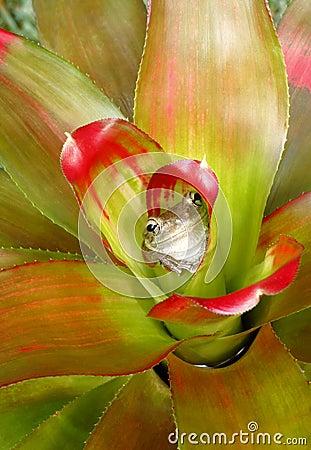 Treefrog cubano que oculta en un Bromeliad