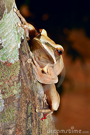 Treefrog in tropical amazon jungle