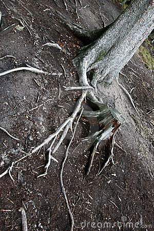 Free Trees And Trunk An Roots Royalty Free Stock Photo - 1014485