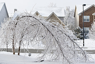 Trees bent over from the weight of the ice