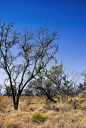 Trees in Bushveld