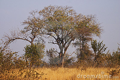 Trees in a Bushveld setting