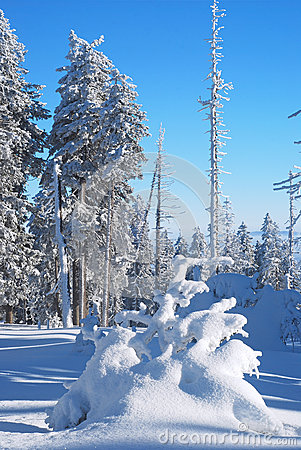 Trees coated with snow