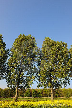 Trees in cole seed