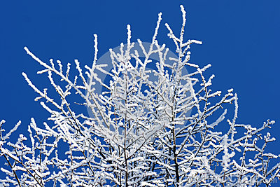 Trees covered in frost over bright blue sky