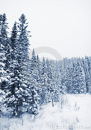 Trees covered of snow
