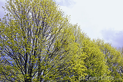 Trees In Early Spring