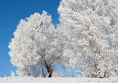 Trees in frost