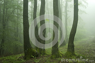 Trees with green moss in a green forest with fog