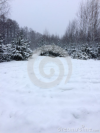 Free Trees In The Forest Under The Snow Winter. Natural Beautiful Background With Frosted Trees In Winter Stock Photo - 92197820