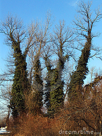 Trees with leafy trunks