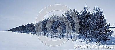 Trees line in winter