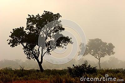 Trees in mist, Kruger Park, South Africa