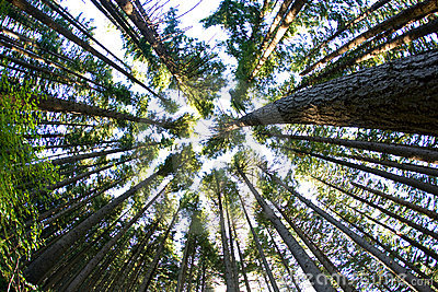 Trees in Pine Forest