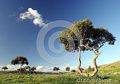 Trees at Pukekohe