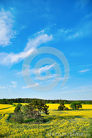 Trees in rape field