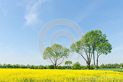 Trees at a rapeseed field