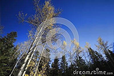 Trees Reaching Skyward in Autumn