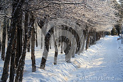 Trees in a Row in winter alley