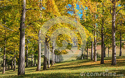 Ginkgo Trees with Shades of Autumn