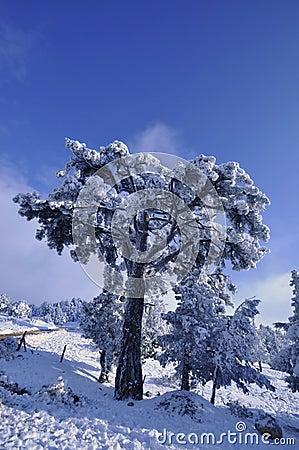 Trees in snowy landscape