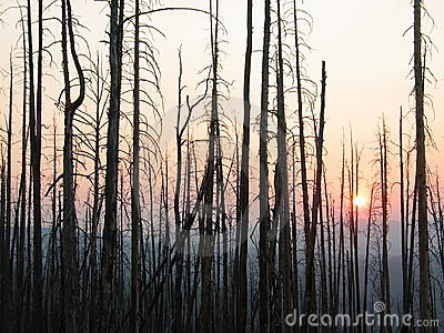 Trees at sunset after a wildfire