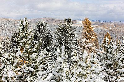 Trees under the first snow