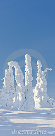Trees under heavy snow in Finland