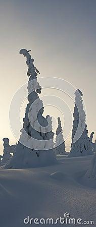 Trees under heavy snow in Riisitunturi