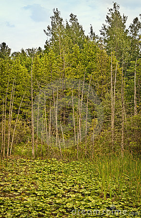 Trees and Wetlands, Northern Michigan