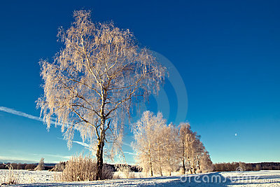 Trees in wintry landscape