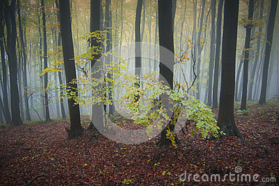 Trees with yellow leaves in a forest with fog in autumn