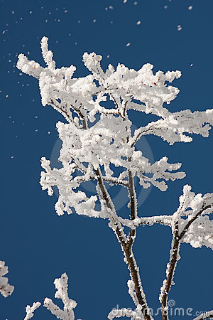 Treetop in frost