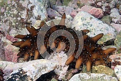 Trepang underwater in sea of japan